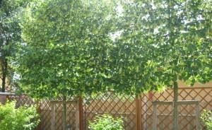 Sövényfa